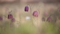 "Frank Brehe ""wild flowers"""